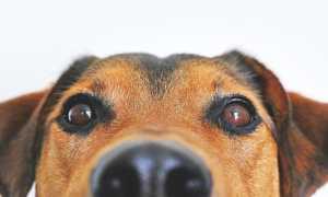 Как прочистить нос собаке