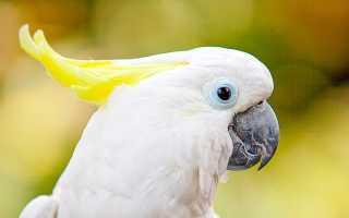 Попугай какаду как ухаживать