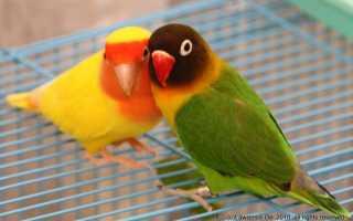 Попугаи неразлучники форум отзывы