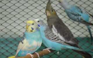 Кореллы и волнистые попугаи вместе