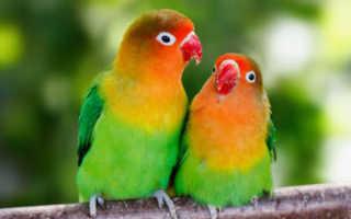 Сколько высиживают яйца неразлучники попугаи