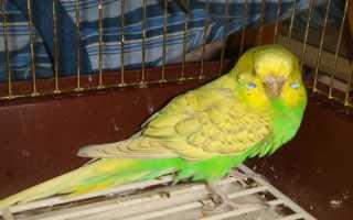 Почему попугаи взъерошиваются