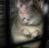Как высоко прыгает крыса