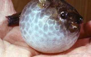Рыба которая надувается
