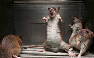 Декоративная крыса чешется