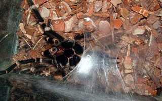Пауки размножение и развитие