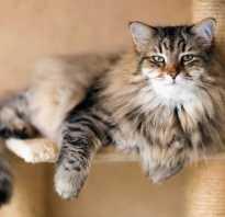 Питание сибирской кошки