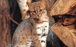 Рыжая пятнистая кошка