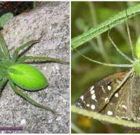 Ярко зеленый паук