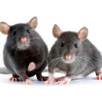 Фото красивых крыс