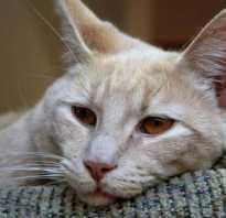 Лечение чумки водкой у кошек