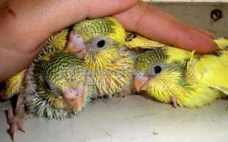 Месячный волнистый попугай