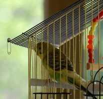 Волнистые попугаи в домашних условиях