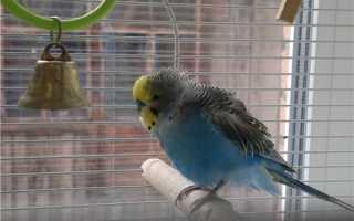 Волнистый попугай трясет хвостом