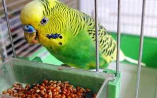 Что ест попугай