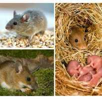 Сколько живет мышь продолжительность жизни