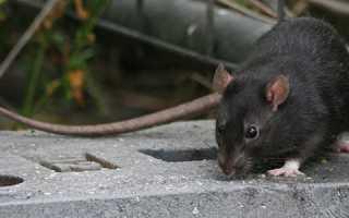 Большой черный крыс