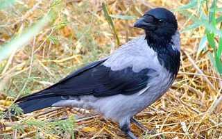 Что едят серые вороны