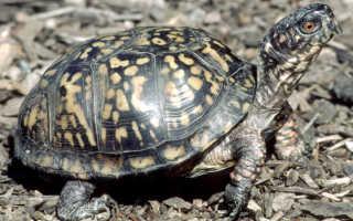 Морская черепаха размножение