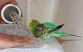 Как купают попугаев видео