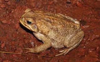 Земноводное семейства жаб