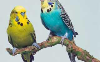 Породы волнистых попугаев