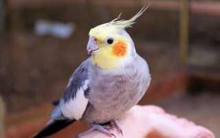 Имена для попугаев мальчиков карелла список