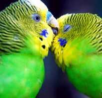 Самец волнистого попугая фото