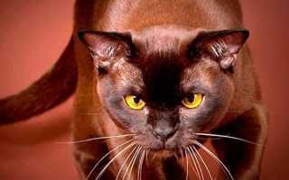 Шоколадный котенок с голубыми глазами порода