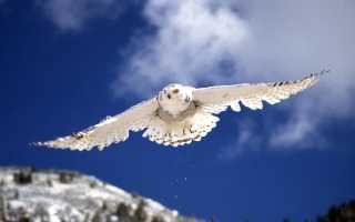 Белая сова или полярная сова