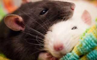 Обустройство клетки для крыс
