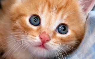 Как назвать бело рыжего котенка мальчика