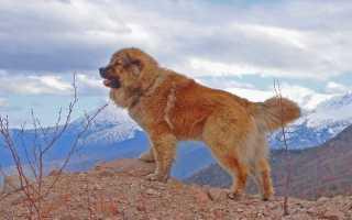 Самые крупные породы собак с фотографиями