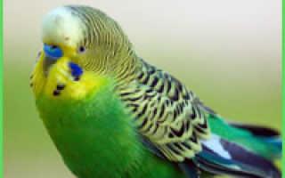 Волнистый попугай арлекин