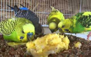Как дать попугаю активированный уголь
