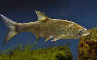 Жерех семейство каких рыб