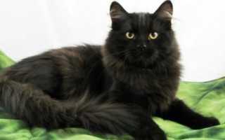 Сибирский котенок черно белый