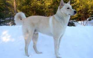 Ханаанская порода собак