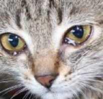 У кошки после еды слезятся глаза