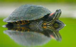 Уходят ли черепахи в спячку