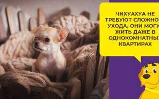 Как ухаживать за собакой породы чихуахуа