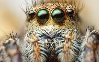Какие глаза у паукообразных
