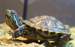Виды черепах фото и название