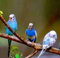 Как узнать пол попугая волнистого