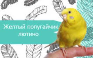 Желтый волнистый попугай