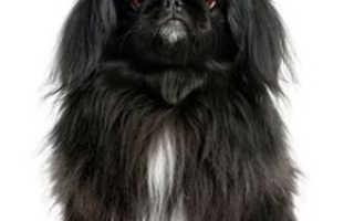 Характеристика собак пекинес
