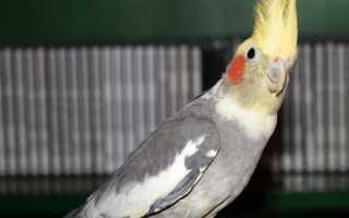 Содержание попугаев корелла в домашних условиях