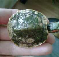 Белый налёт на черепахе