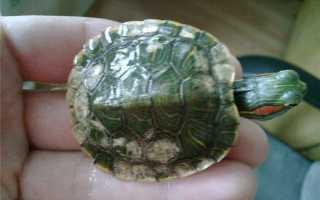 Налет на панцире черепахи