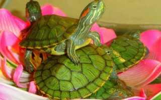 Можно ли держать черепаху с рыбками